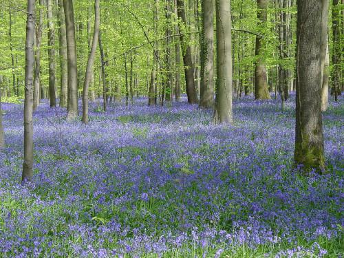 Hallerbos-hyacinthes