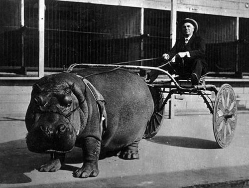hippopotame-tire-une-charette-1924